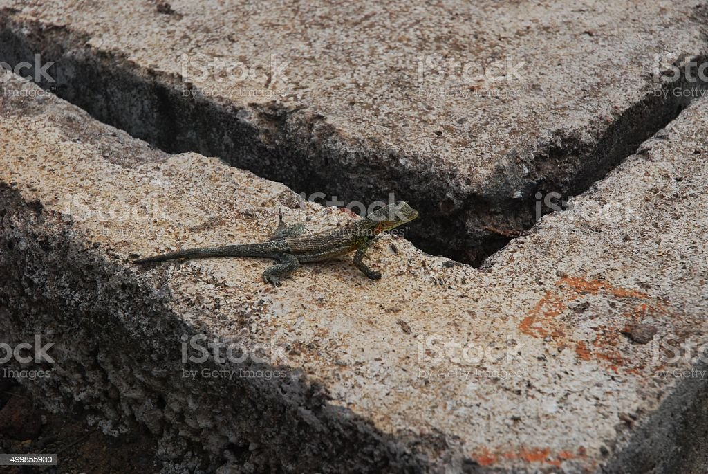 Lava Lizard sitting on cement royalty-free stock photo