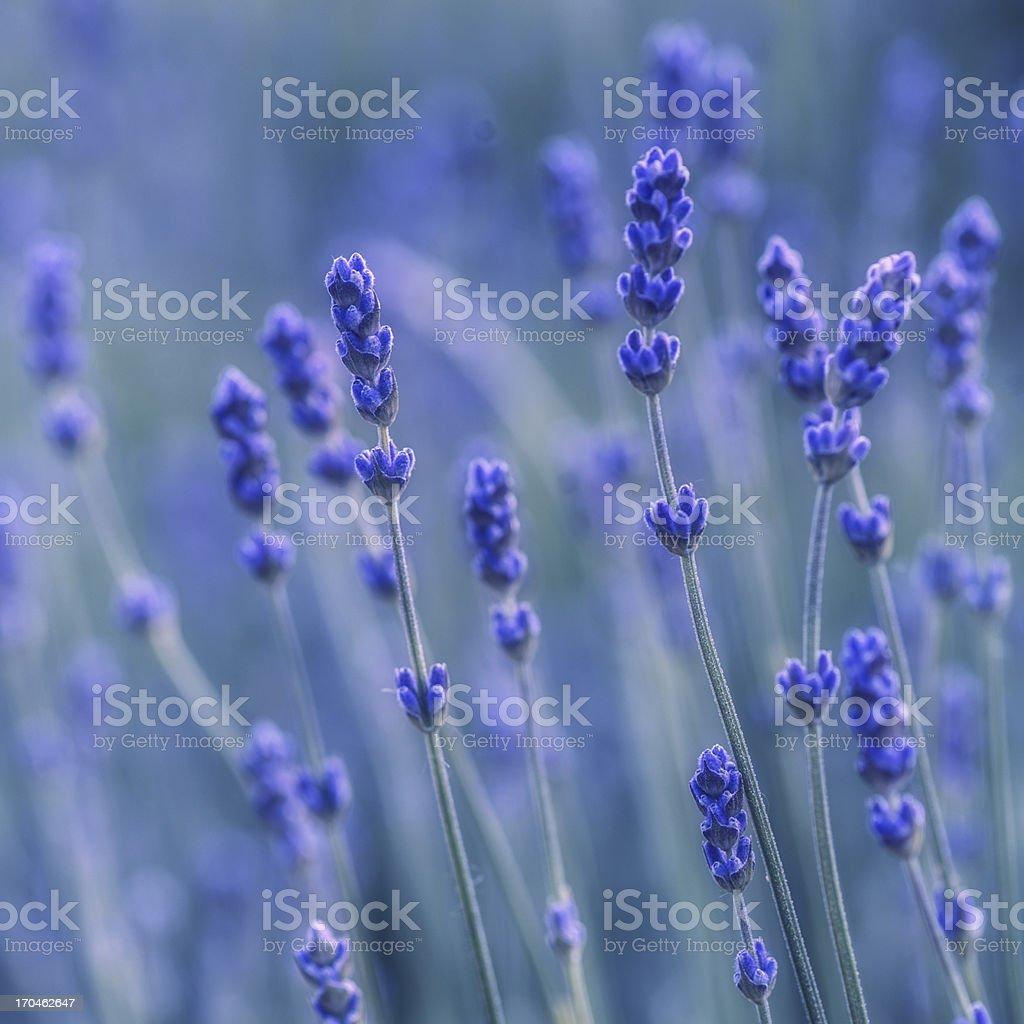 Lavander blues royalty-free stock photo