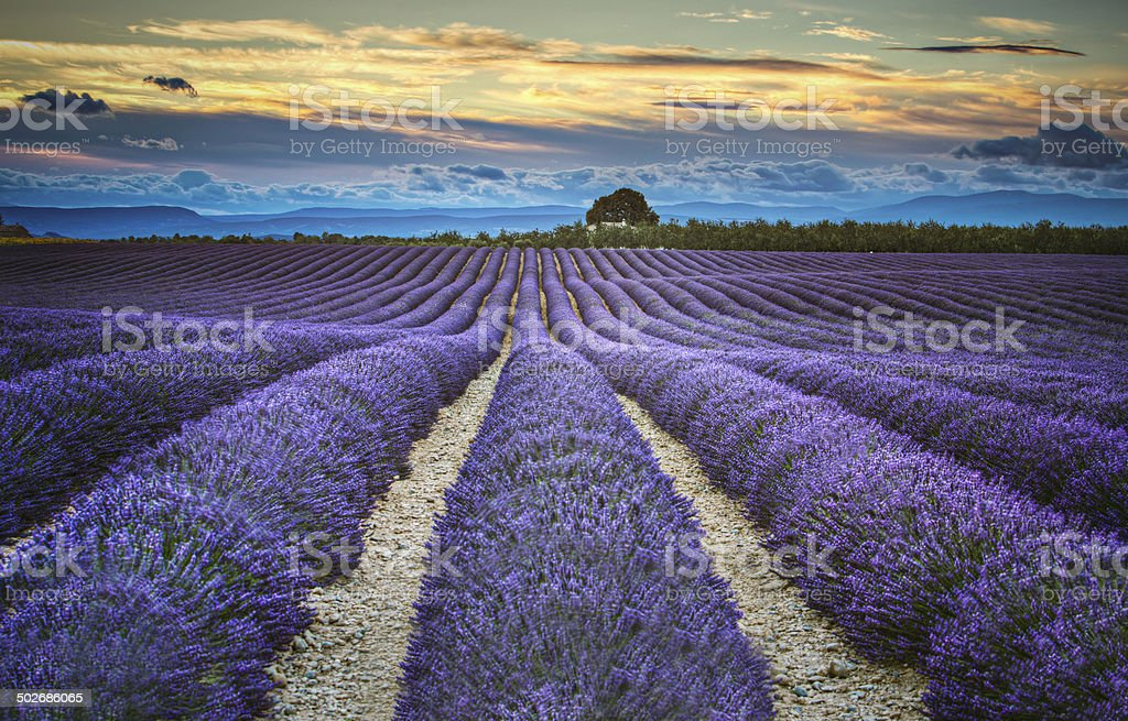 Lavander fields at dusk royalty-free stock photo