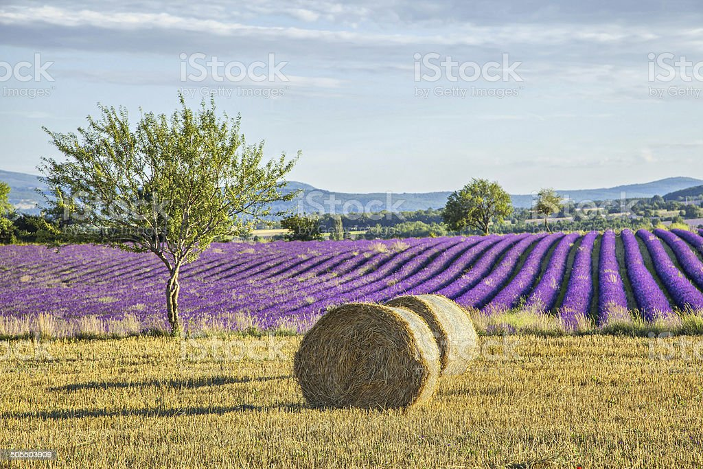 Lavander fields with hay rolls on the front view stock photo