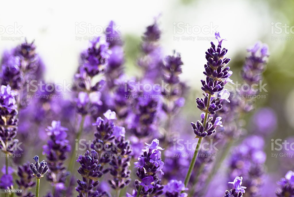 Lavander royalty-free stock photo
