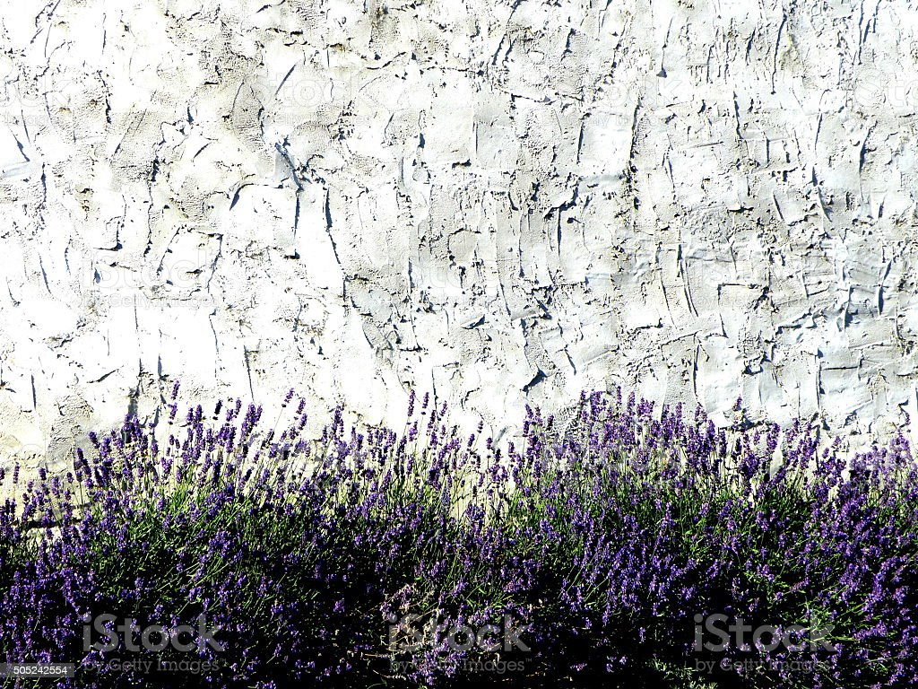 Lavandula angustifolia(lavender) with natur bacground wall stock photo