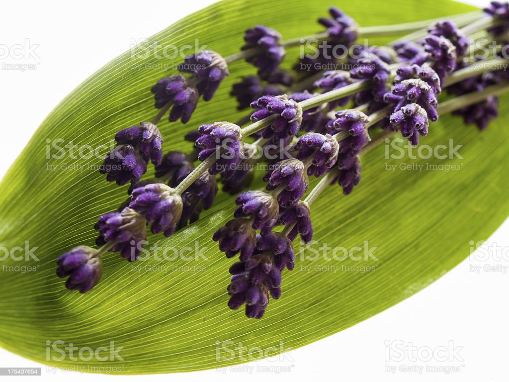 lavandula, lavender flowers on a grean leaf, white background stock photo