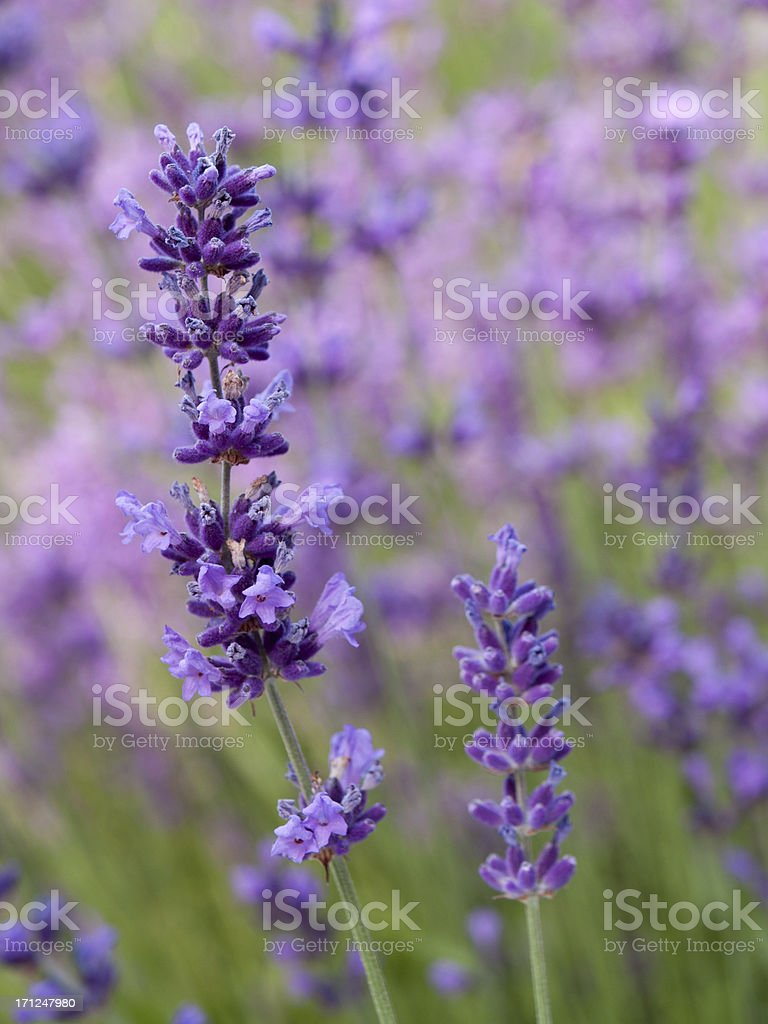 lavender against blurred background stock photo