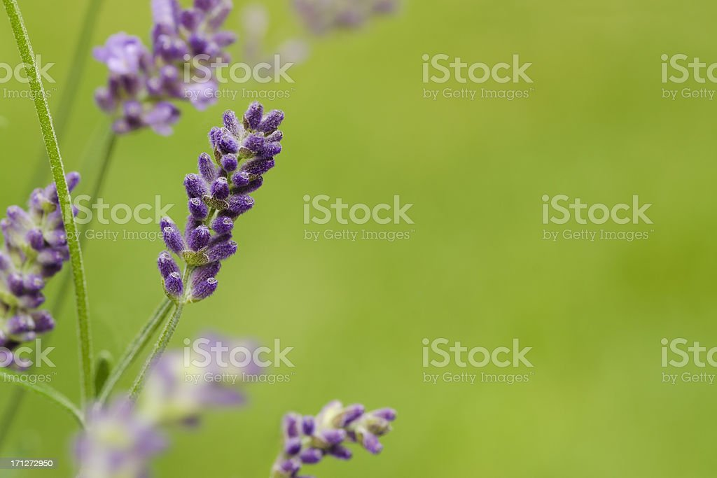 Lavender Against Green Grass with Copy Space stock photo