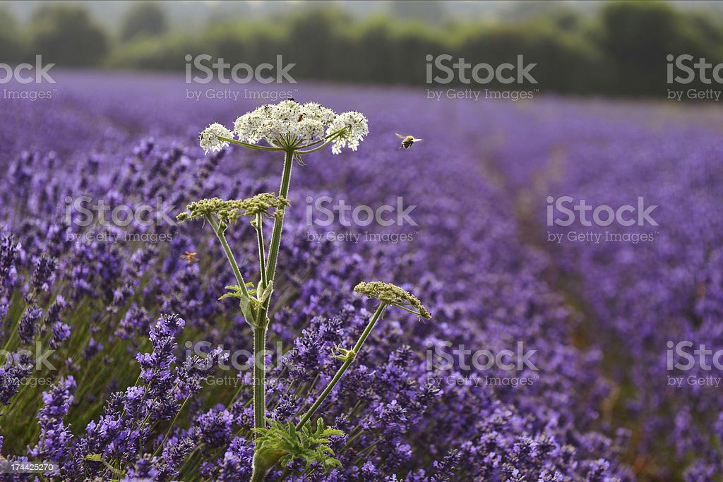 Lavender and Bee royalty-free stock photo