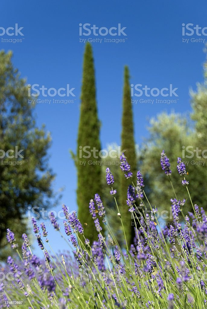 Lavender and cypress royalty-free stock photo