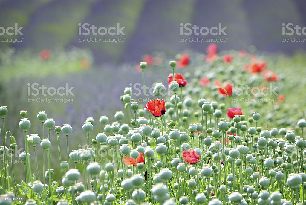 Lavender and Oriental Poppies royalty-free stock photo