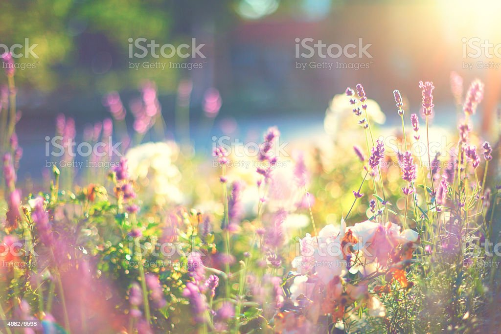 Lavender and roses stock photo