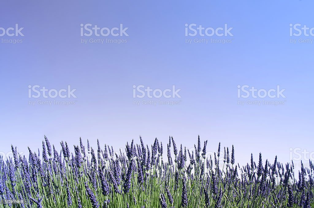 Lavender and Sky royalty-free stock photo
