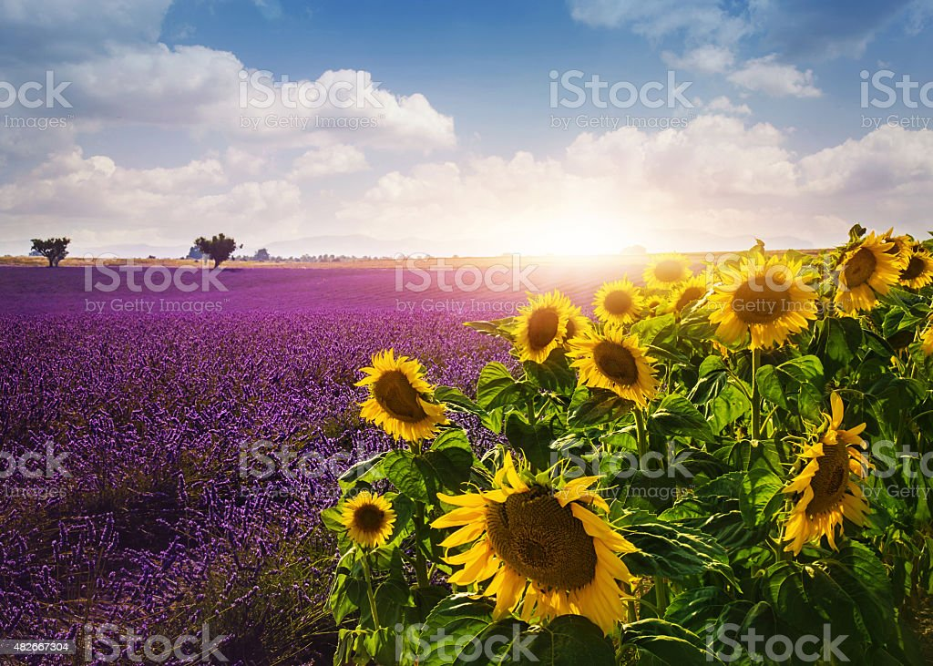 Lavender and sunflowers fields stock photo