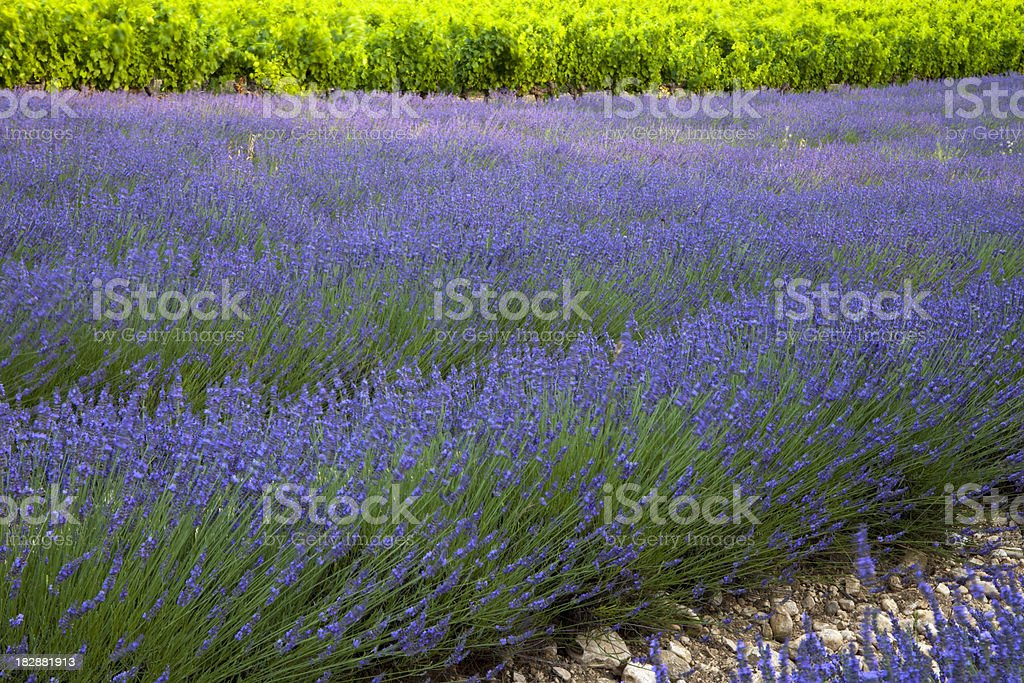 Lavender and Vineyards royalty-free stock photo