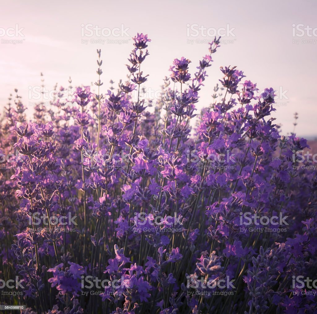 Lavender aromatic,Lavender fields,Lavender morning stock photo