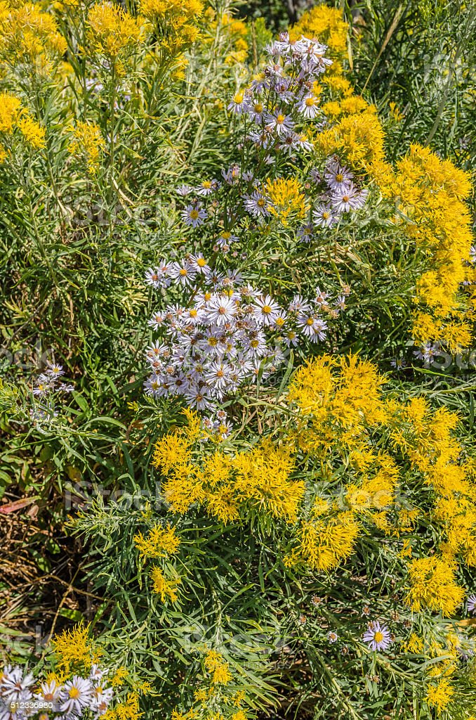 Lavender Asters and Yellow Rabbitbrush stock photo