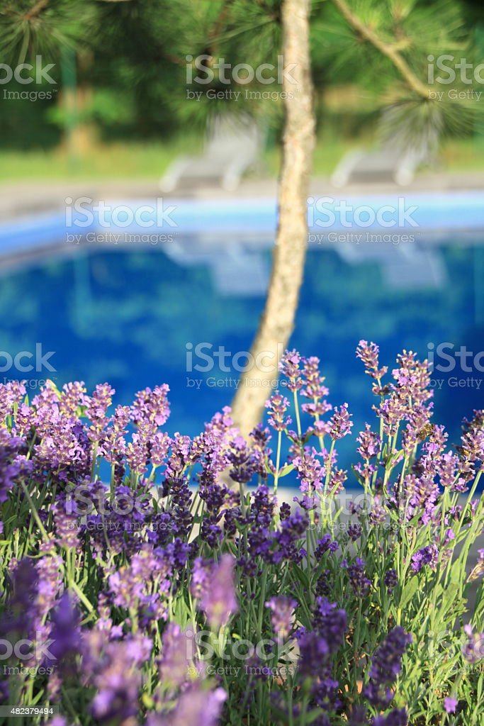 Lavender at the swimming pool stock photo