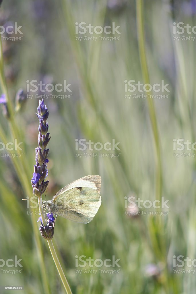 Lavender attracts butterflies royalty-free stock photo