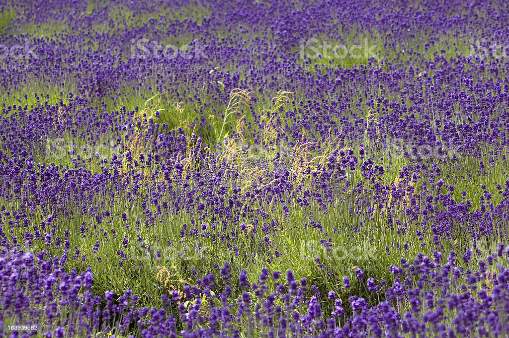 Lavender background in Hokkaido Japan stock photo