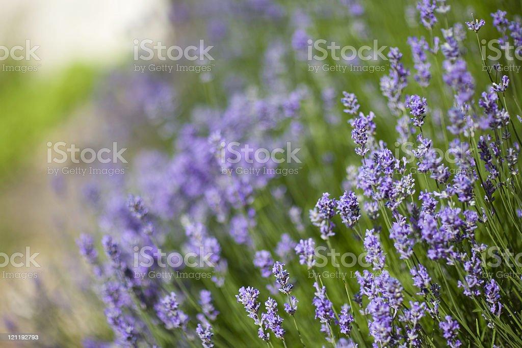 Lavender background stock photo