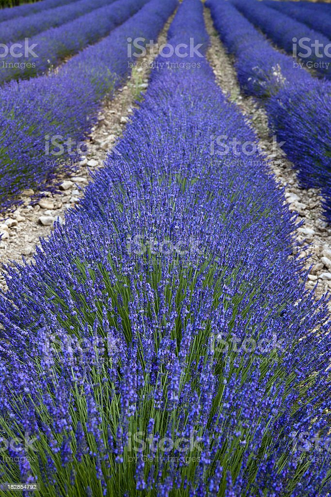 Lavender Blooming royalty-free stock photo