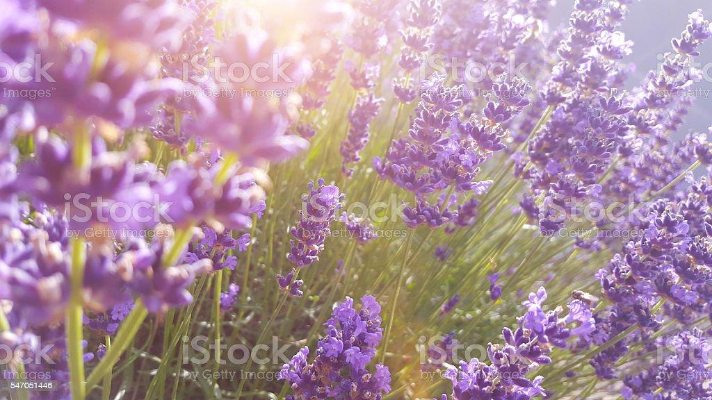 Lavender blossom defocused in sunset light stock photo