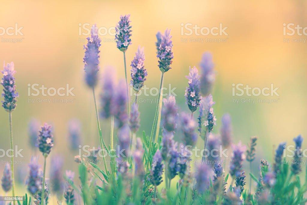 Lavender blossom defocused stock photo
