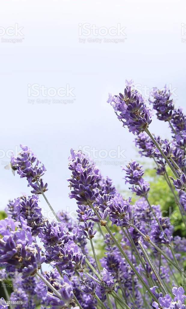 Lavender Blue royalty-free stock photo