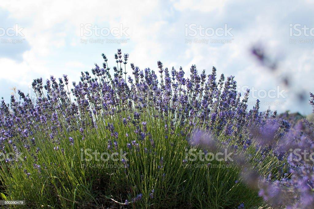 Lavender bush stock photo
