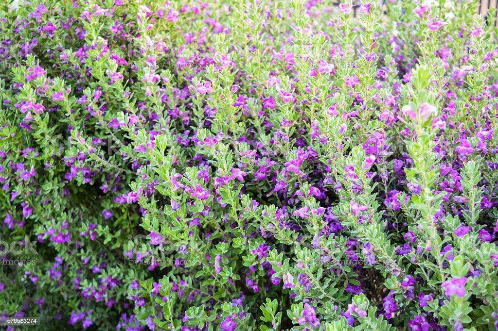 Lavender bushes Chihuahan Sage, Chihuahua stock photo
