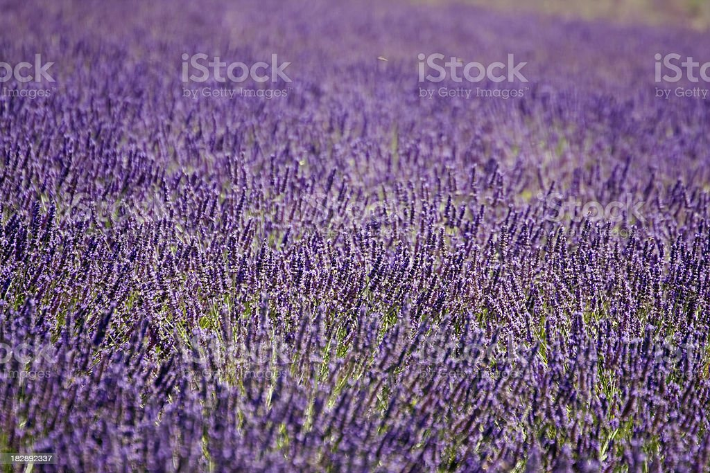 Lavender Close Up royalty-free stock photo