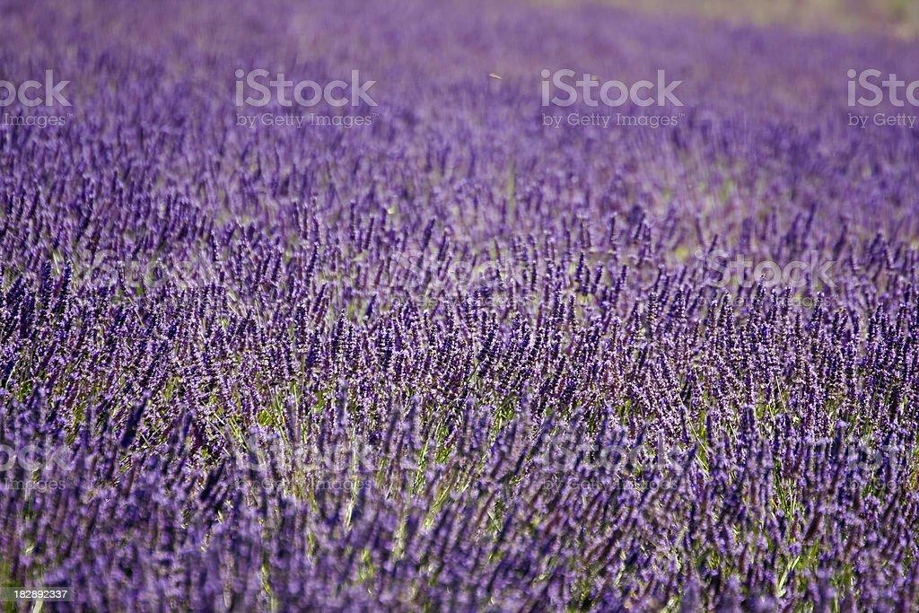 Lavender Close Up stock photo