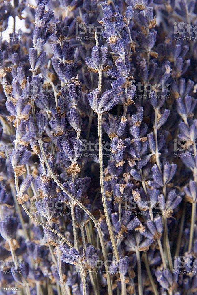 Lavender Closeup royalty-free stock photo