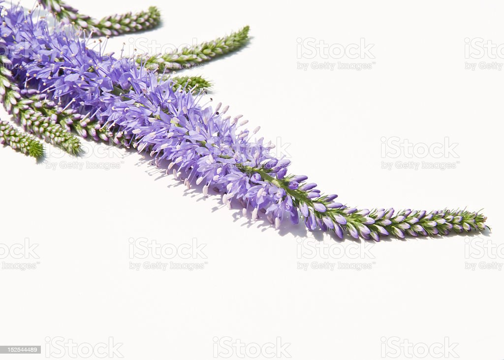 Lavender colored flower stem isolated on white stock photo