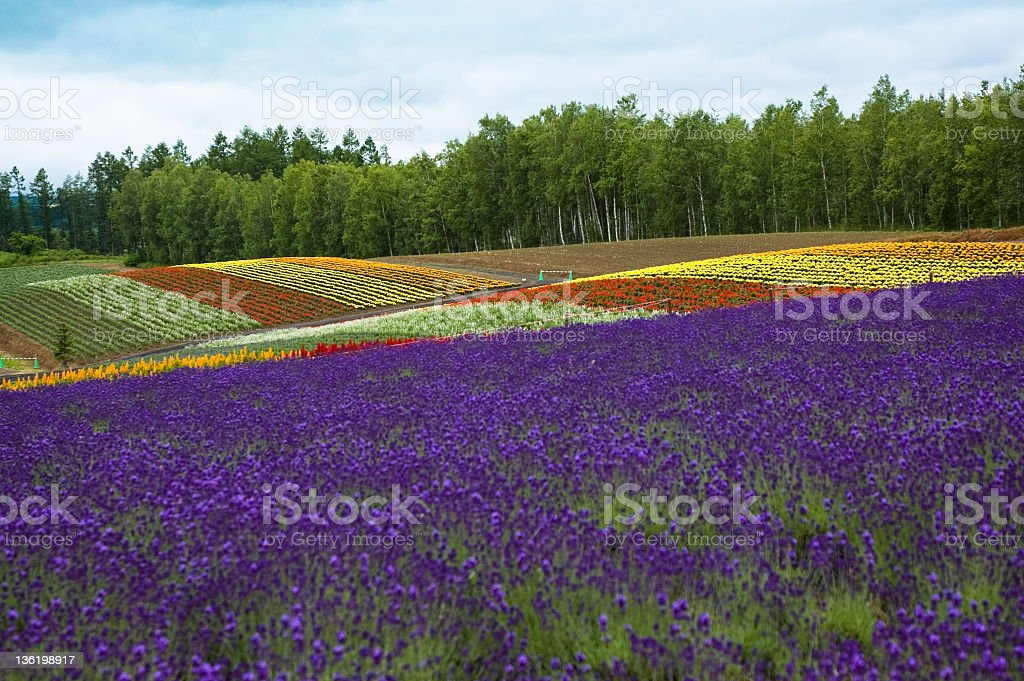 Lavender & colorful flower field in Furano Hokkaido Japan stock photo