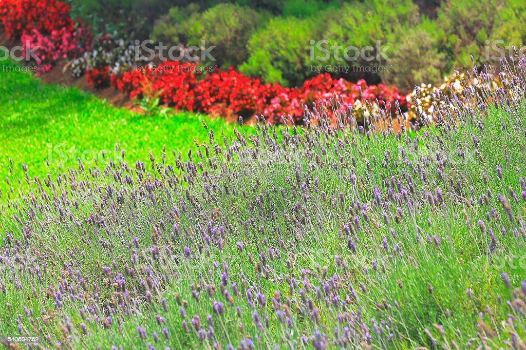 Lavender colorful flowers gardens, Green foliage, Provence, France stock photo