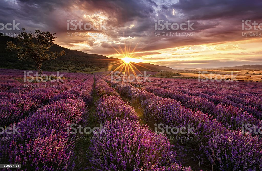 Lavender dawn stock photo