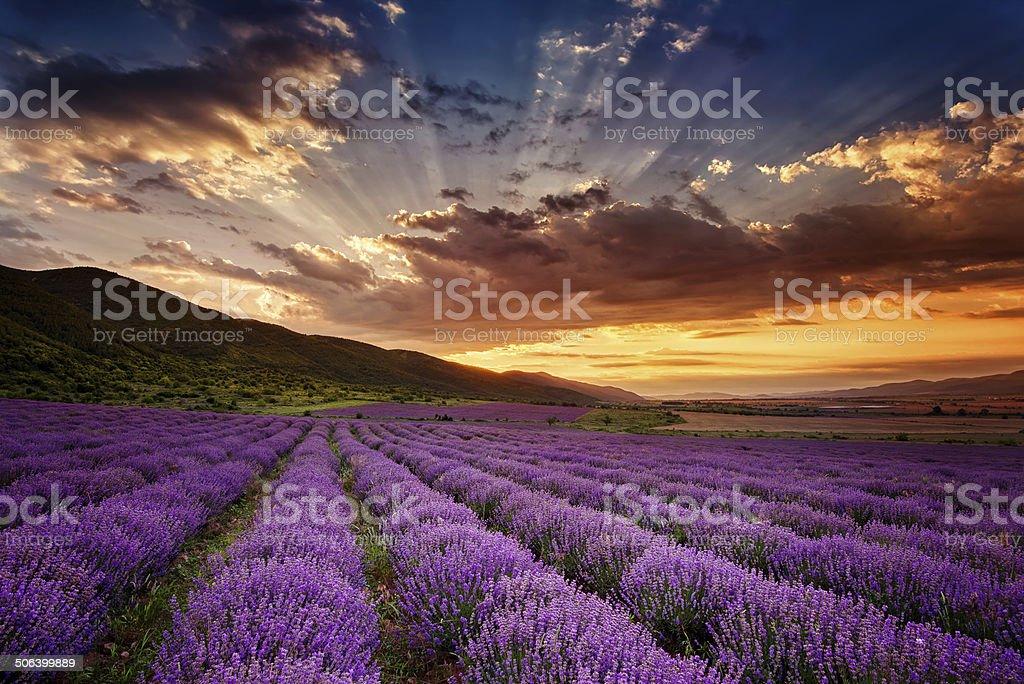 Lavender dawn stock photo