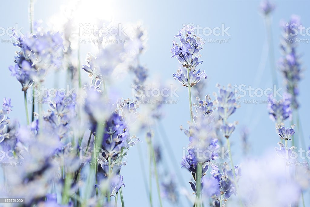 Lavender drift royalty-free stock photo