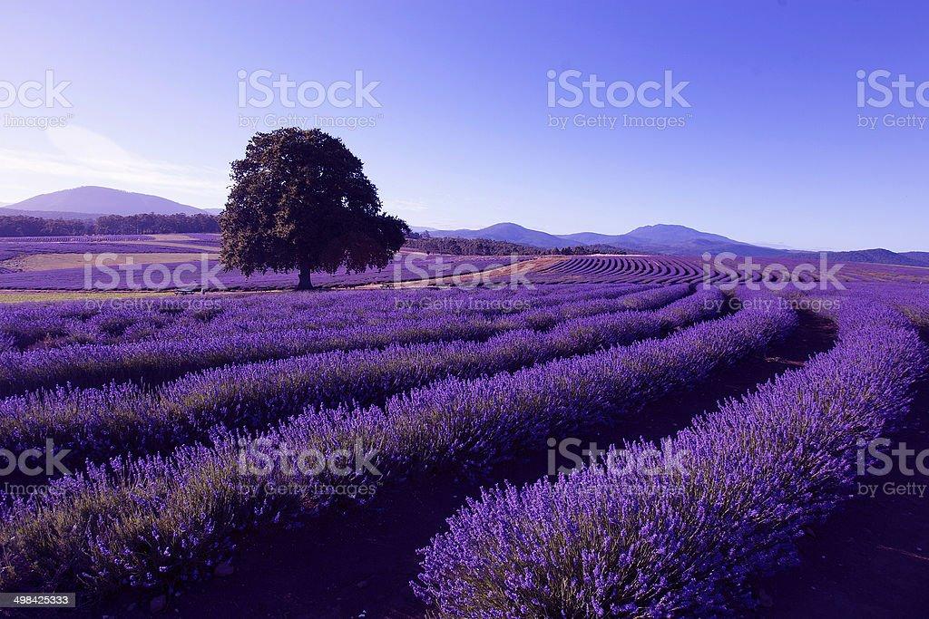 Lavender Farm at Nabowla, Tasmania, Australia stock photo