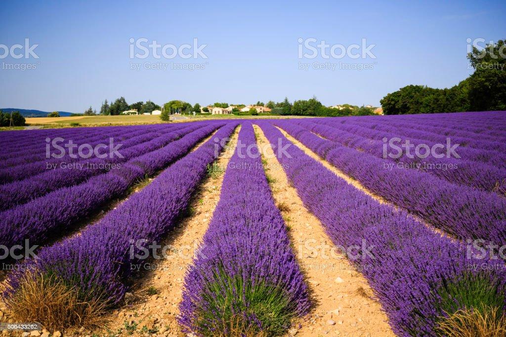 lavender farm at sunset stock photo