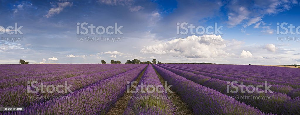 Lavender farm in the UK. royalty-free stock photo