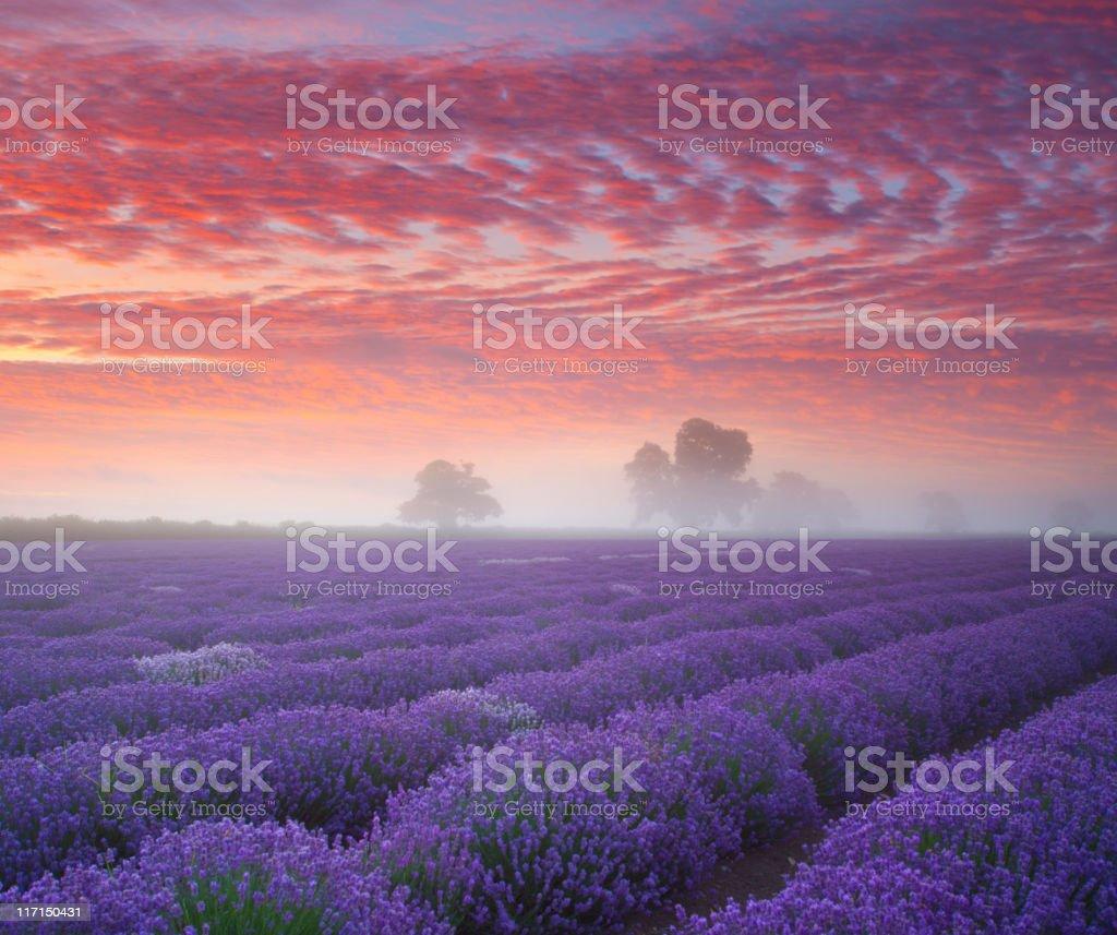Lavender Farmland at sunrise... stock photo