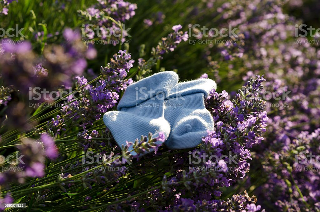 Lavender field and baby boy socks on a stem stock photo