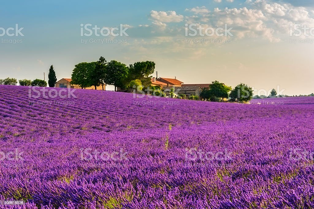 Lavender field and farm in Provence stock photo