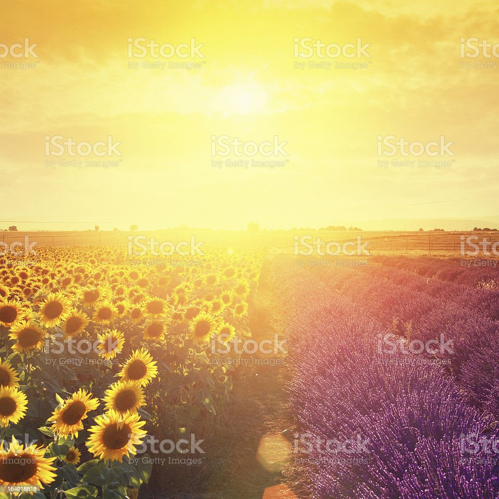 Lavender field and sunflowers at sunset stock photo