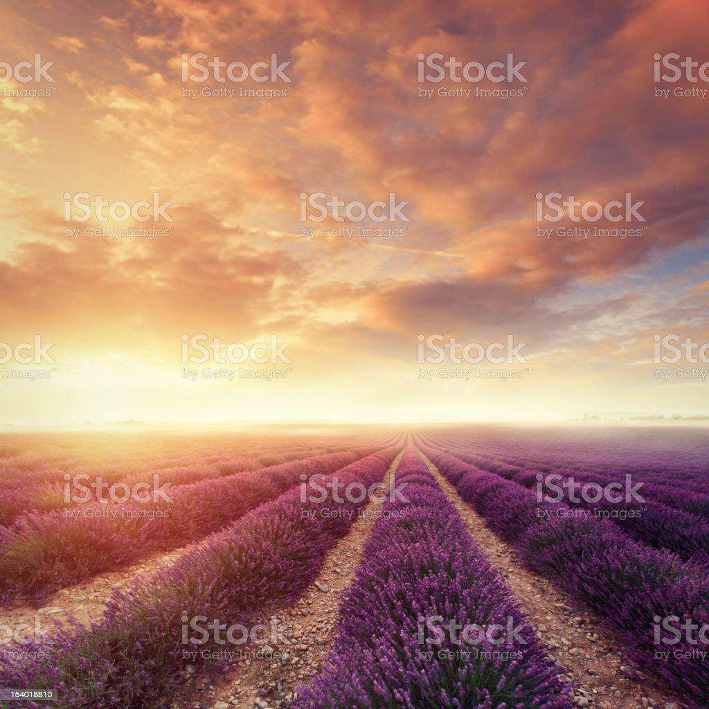 Lavender field at dawn stock photo