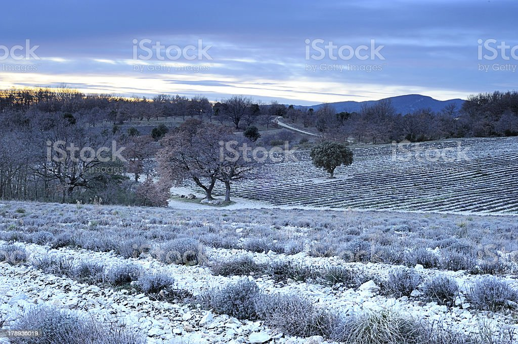 Lavender field at dusk in Provence, France royalty-free stock photo