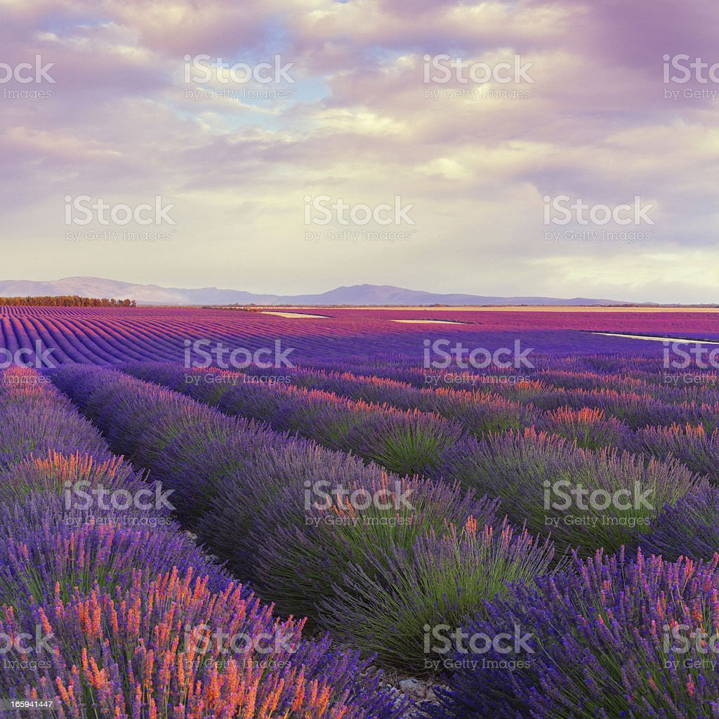 Lavender field at dusk royalty-free stock photo