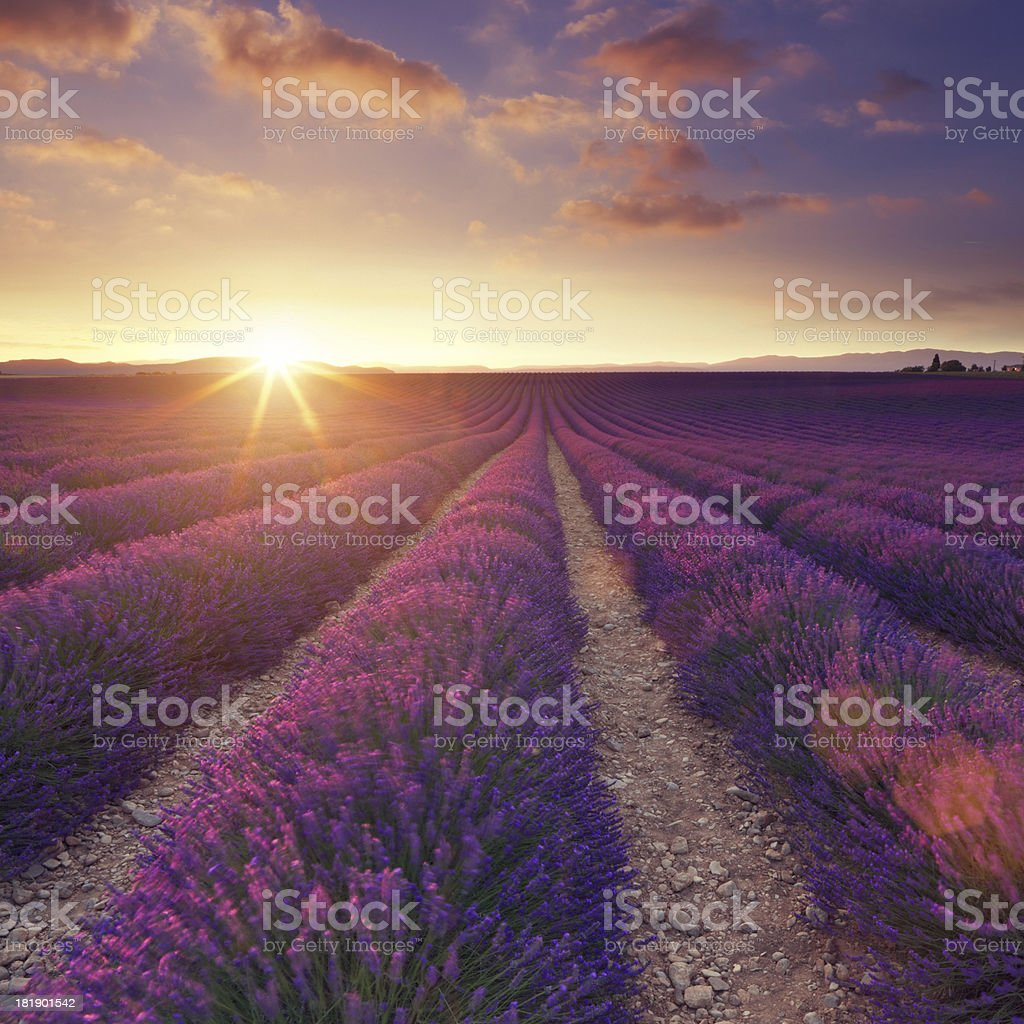 Lavender field at sunset royalty-free stock photo