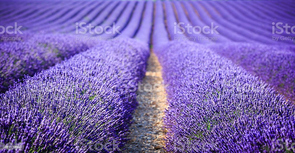 lavender field at sunset (focus on foreground) stock photo