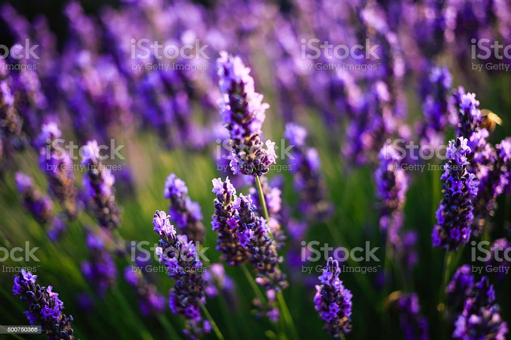 lavender field at sunset stock photo